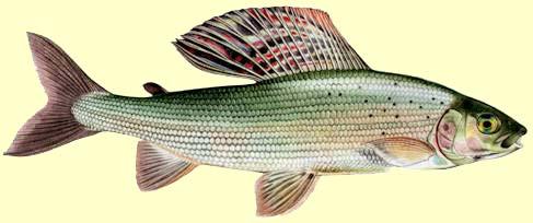 Manger de l ombre at vero b for Manger pour poisson